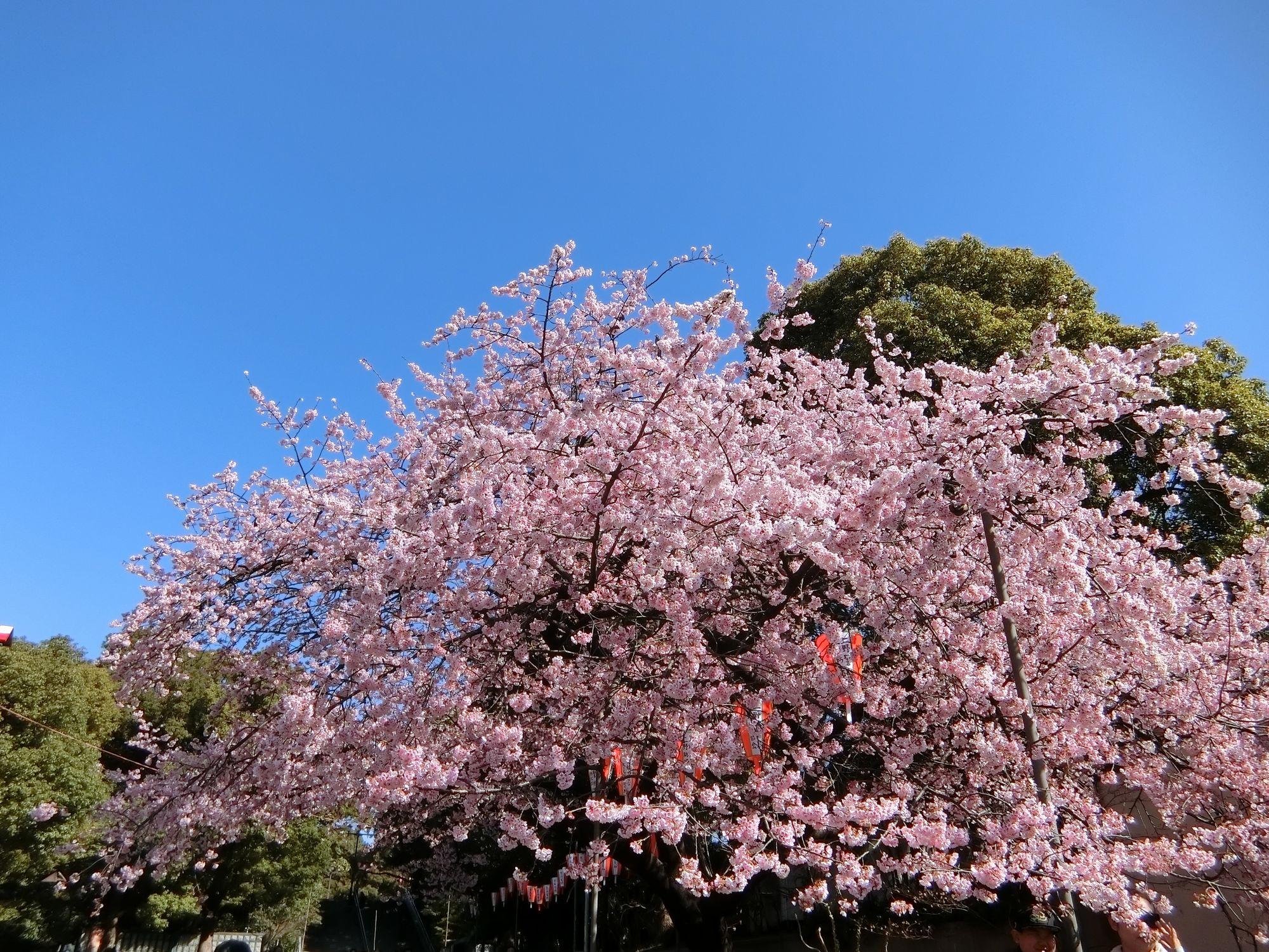 上野公園の入口の桜(2019年3月13日撮影)