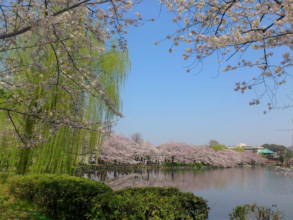 不忍池の桜(2017年4月に筆者が撮影)